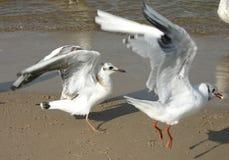 2只海鸥 免版税图库摄影