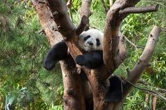 2只熊猫休眠 免版税库存照片