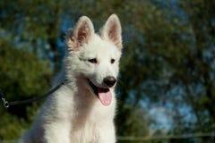 2只狗绵羊瑞士白色 库存照片