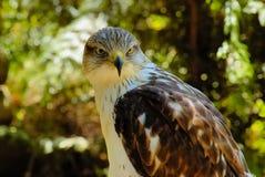 2只猎鹰纵向 免版税库存照片