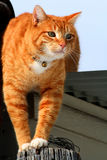 2只猫四处觅食的平纹黄色 库存图片
