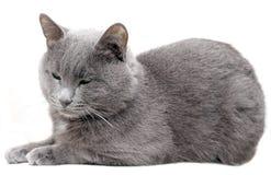 2只猫灰色 免版税库存图片