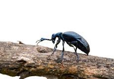 2只甲虫meloe sp violatus 免版税库存照片