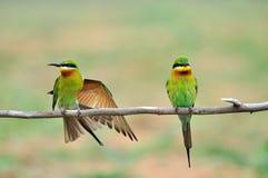 2只红喉刺莺蜂鸟蓝色的食者 库存照片