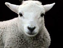 2只绵羊 免版税图库摄影