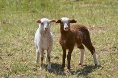 2只羊羔在澳洲 免版税库存照片