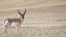 2只羚羊域麦子 库存图片