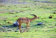 2只羚羊跳 图库摄影