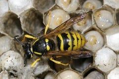 2只群居黄蜂黄蜂 免版税库存图片