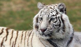 2只老虎白色 图库摄影
