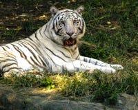 2只老虎白色 库存图片
