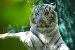 2只老虎白色 免版税库存图片
