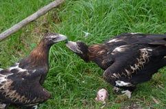 2只老鹰被盯梢的楔子 图库摄影