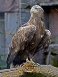 2只老鹰被盯梢的白色 免版税库存照片