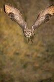 2只老鹰飞行猫头鹰 库存照片