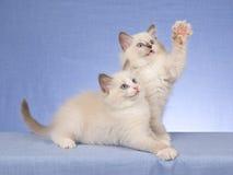 2只背景蓝色逗人喜爱的小猫ragdoll 免版税库存图片