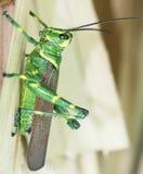 2只蚂蚱绿色 库存照片