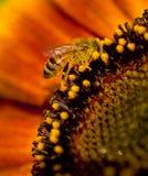 2只蜂向日葵 库存照片
