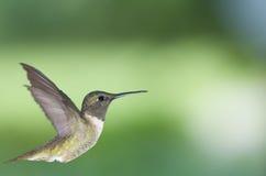 2只蜂鸟配置文件 图库摄影
