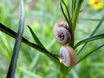 2只蜗牛 库存照片