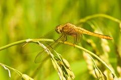 2只蜻蜓叶子休息的ricefield 库存图片