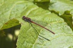 2只蜻蜓大红色 免版税库存图片