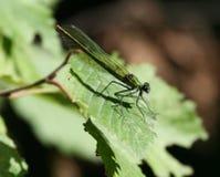 2只蜻蜓绿色 库存图片