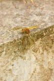 2只蜻蜓陆运 库存照片