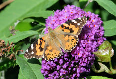 2只蝴蝶夫人被绘 库存照片