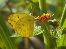 2只蝴蝶被覆盖的lankan sri黄色 库存图片
