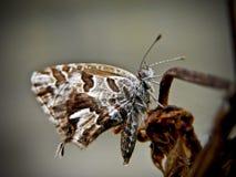 2只蝴蝶铜 免版税库存图片
