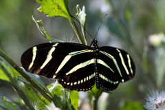 2只蝴蝶longwing的斑马 免版税图库摄影
