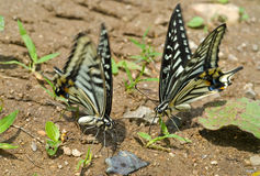 2只蝴蝶papilio xuthus 免版税图库摄影