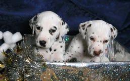 2只达尔马提亚狗礼品小狗 库存照片