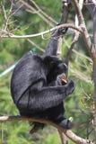 2只长臂猿siamang 库存照片