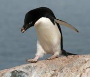 2只阿德力企鹅企鹅 免版税库存照片