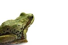 2只青蛙和平的坐的结构树 免版税库存图片