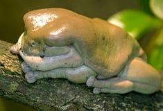 2只青蛙绿色结构树 免版税库存照片