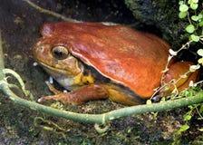 2只青蛙蕃茄 免版税库存照片