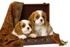 2只骑士查尔斯国王小狗西班牙猎狗 库存照片