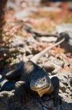 2只鬣鳞蜥熔岩 库存图片