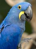 2只鸟蓝色巴西风信花金刚鹦鹉pantanal鹦鹉 库存图片