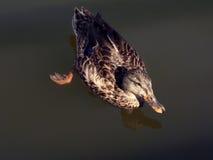 2只鸭子游泳 免版税图库摄影
