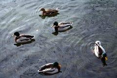 2只鸭子 图库摄影