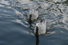 2只鸭子 库存照片