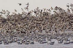 2只鹅迁移噪声雪一些 图库摄影