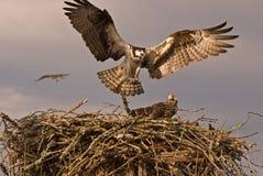 2只鹰白鹭的羽毛 库存照片