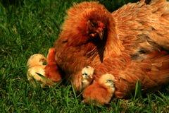 2只araucana小鸡母鸡 库存照片