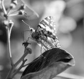 2吃花蜜的蝴蝶 库存照片