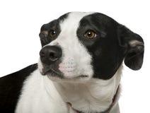 2品种狗混杂的老年 免版税库存照片
